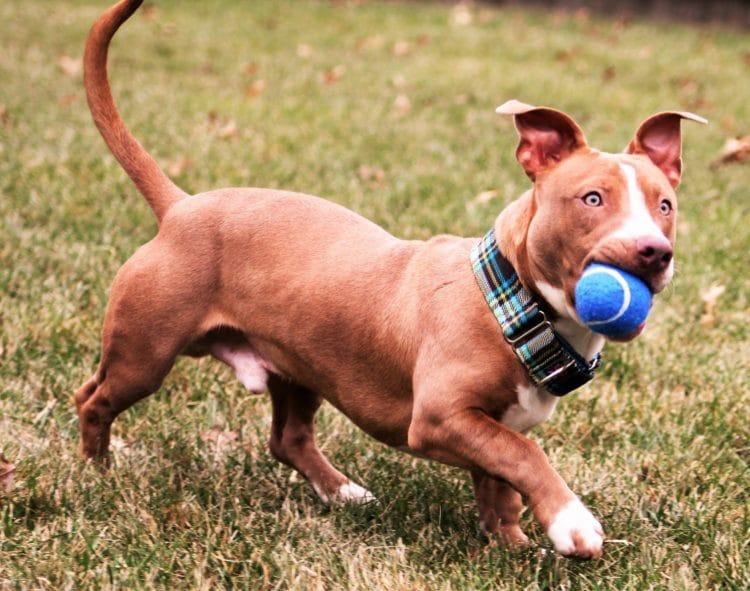Jerry Pitbull Dachshund Mix Best Temperament are Playing