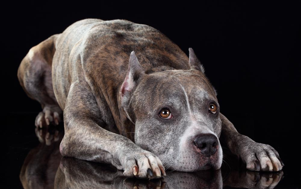 Sad Pitbull Because of Dog Health Problems