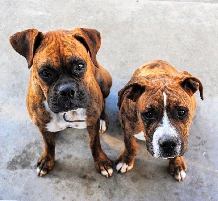 2 Cute pitbull boxer mix