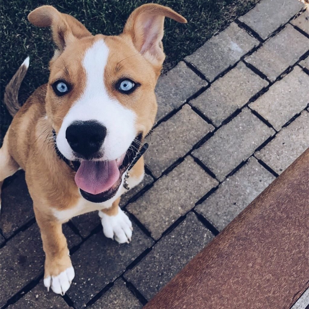 Adorable Pitbull Terrier Husky Mix Siberian With American Bully