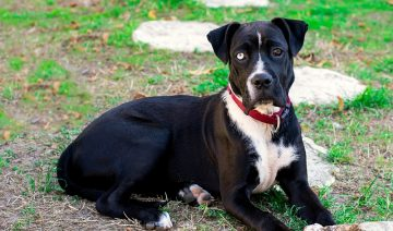 Black Adult Pitbull Boxer Mix