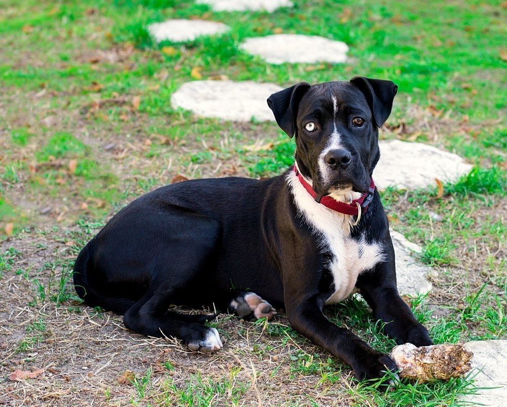 pitbull boxer mix facts