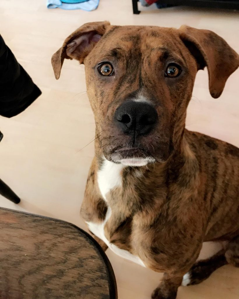 Pitbull Boxer Mix - 10 Important Facts About This Amazing ...
