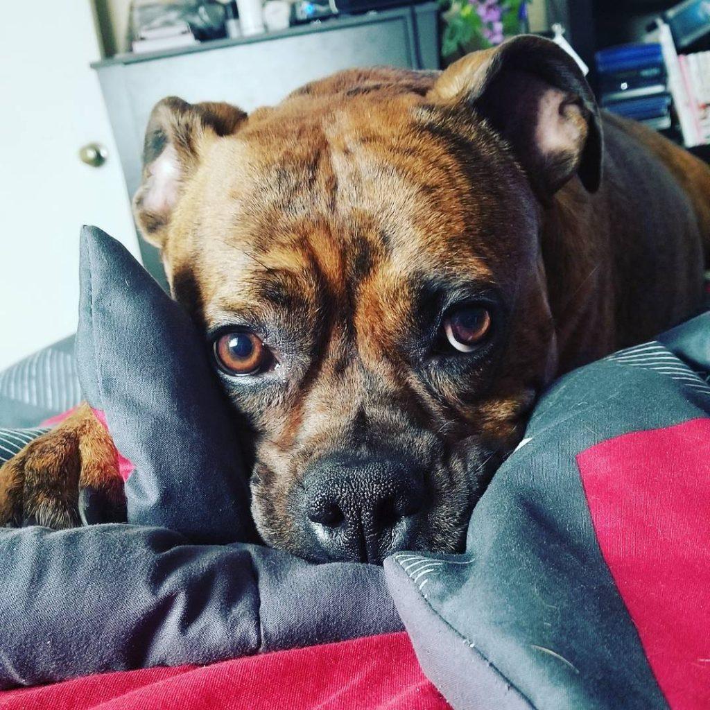 Lazy boxer pitbull mix