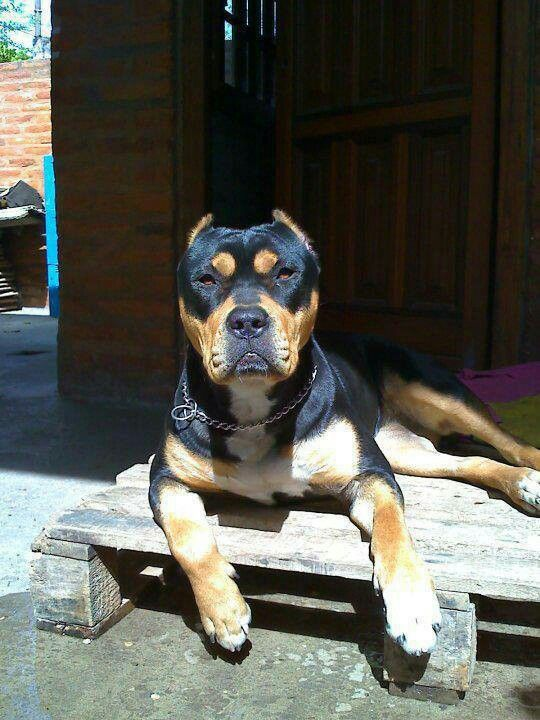 Pitbull mix rottweiler brown