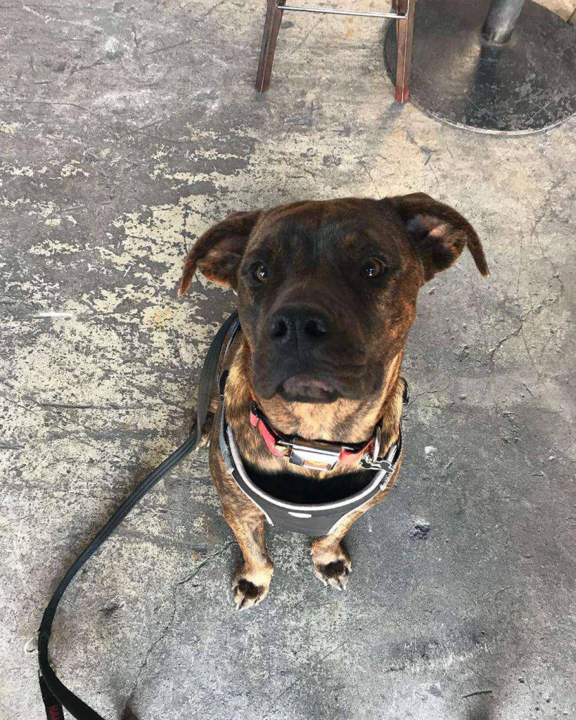 brindle pitbull and rottweiler mix