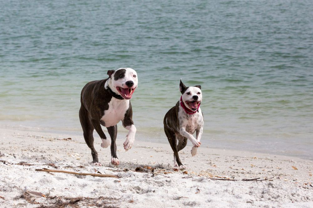 Pitbull Great Dane Mix and Pitbull Terrier Playing on Beach