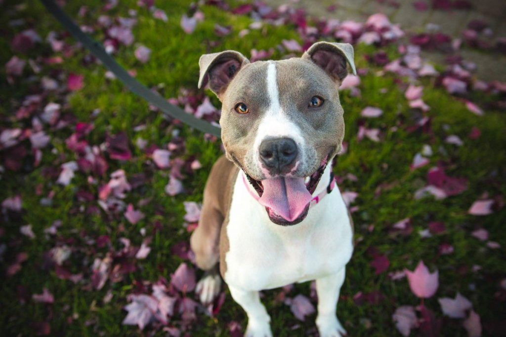 american pitbull terrier: the facts and amazing temperament of apbt dogs