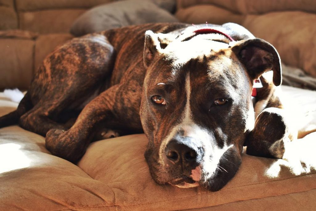 Pitbull Bulldog Mix – 10 Amazing Facts That Everyone Loves About