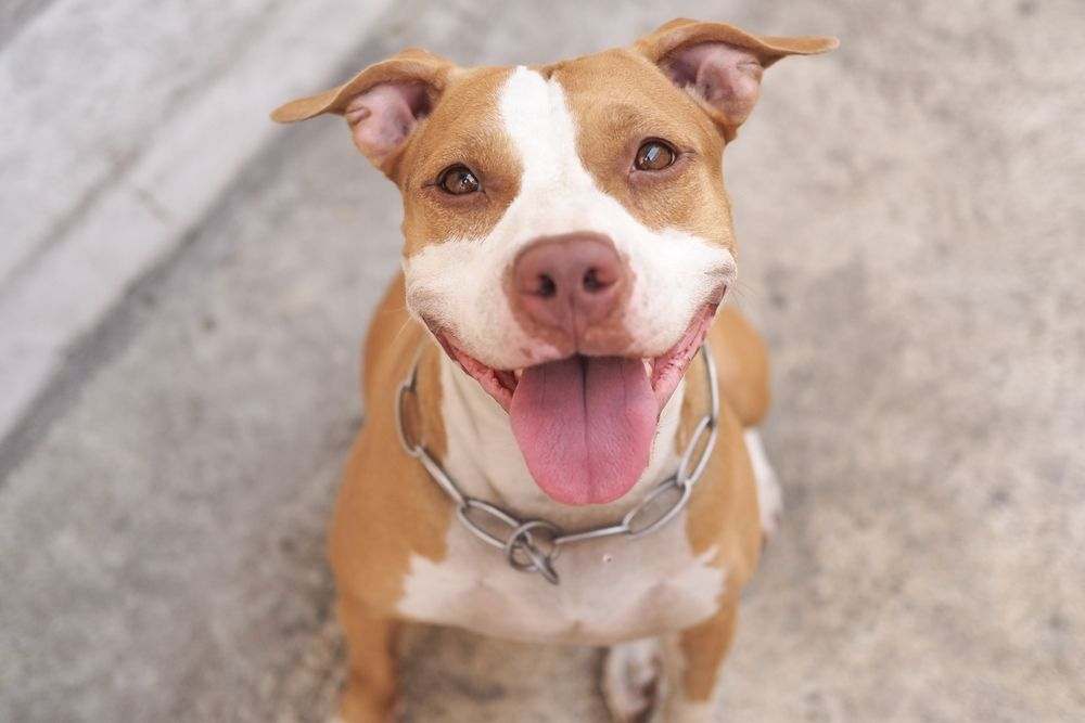 Pit bulls Are Safe! Here's Why!