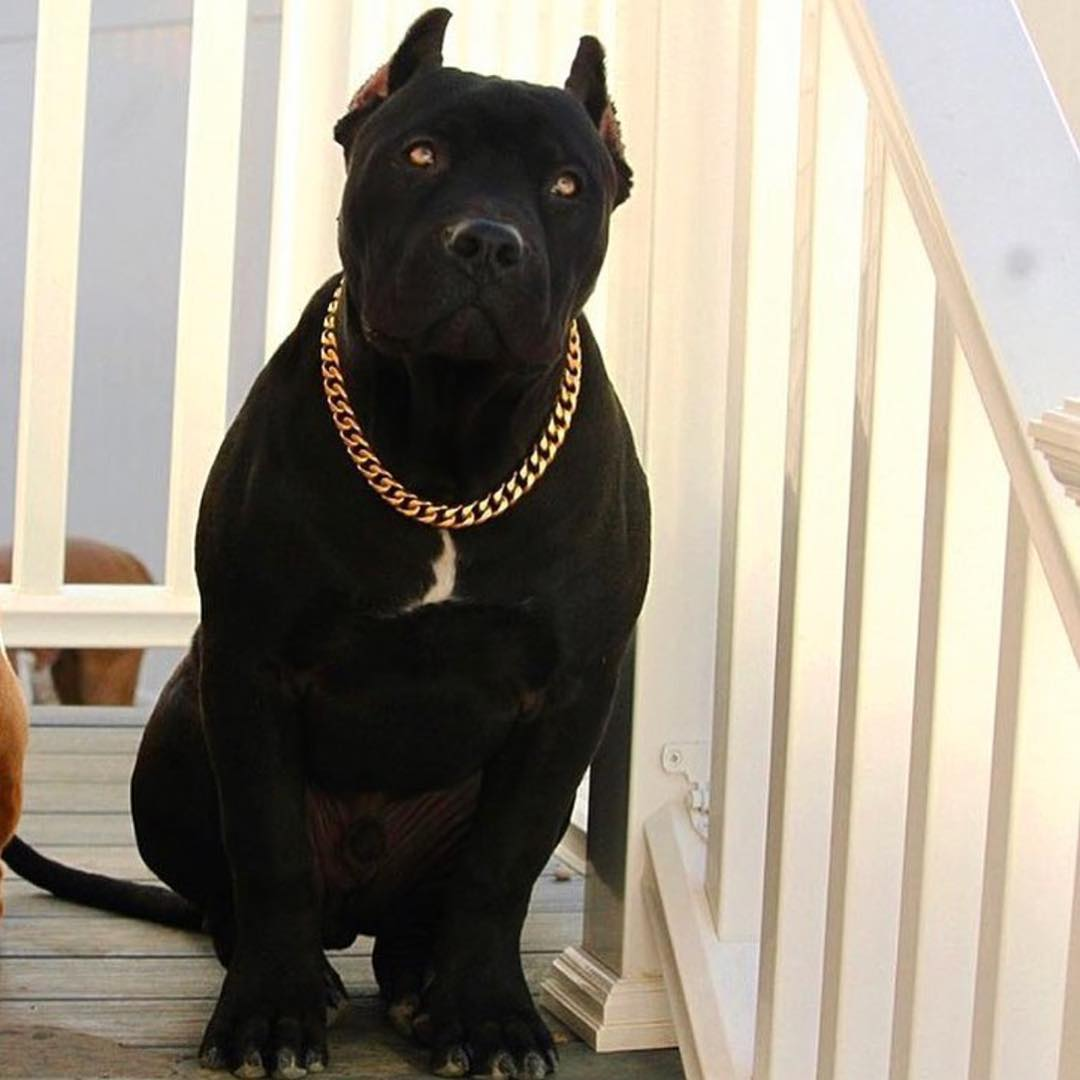 American Bully Breeds 101 Temperament ⋆ Pictures ⋆ Guide