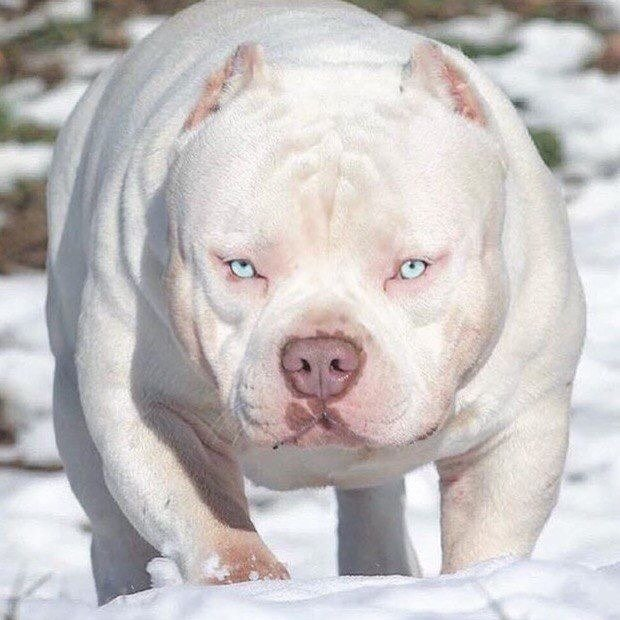 American Bull Dog Color White