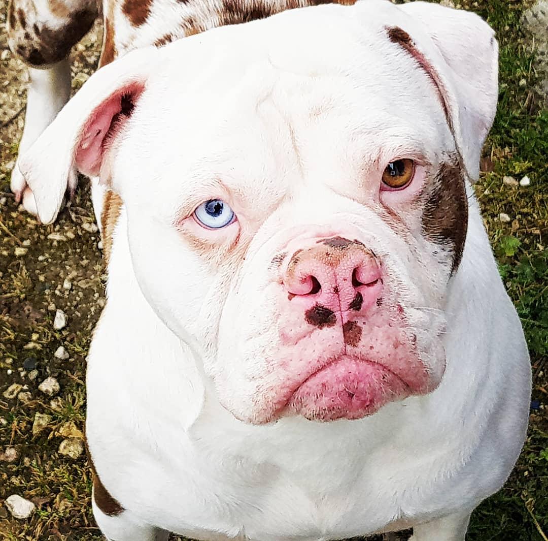 White and Big Alapaha Blue Blood Bulldog