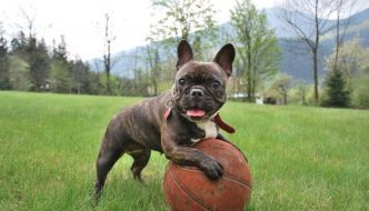 french bulldog having fun