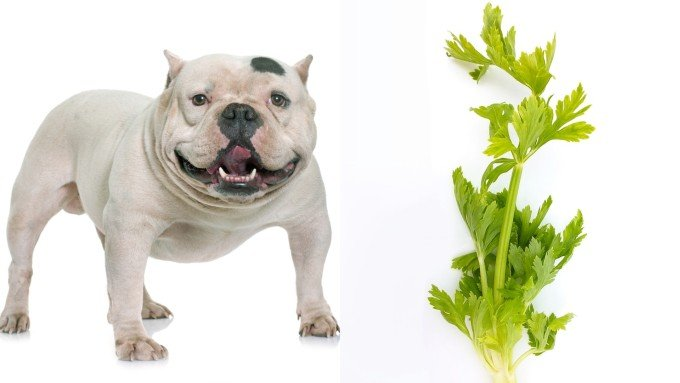Can Dogs Eat Celery guide