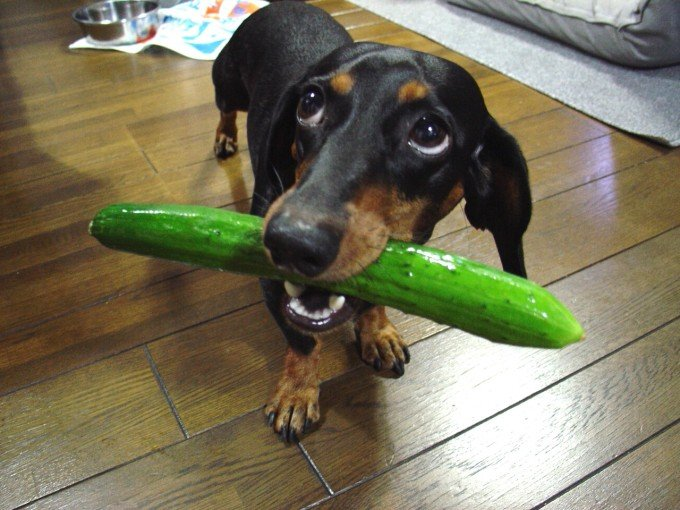 Dog Eating Cucumber