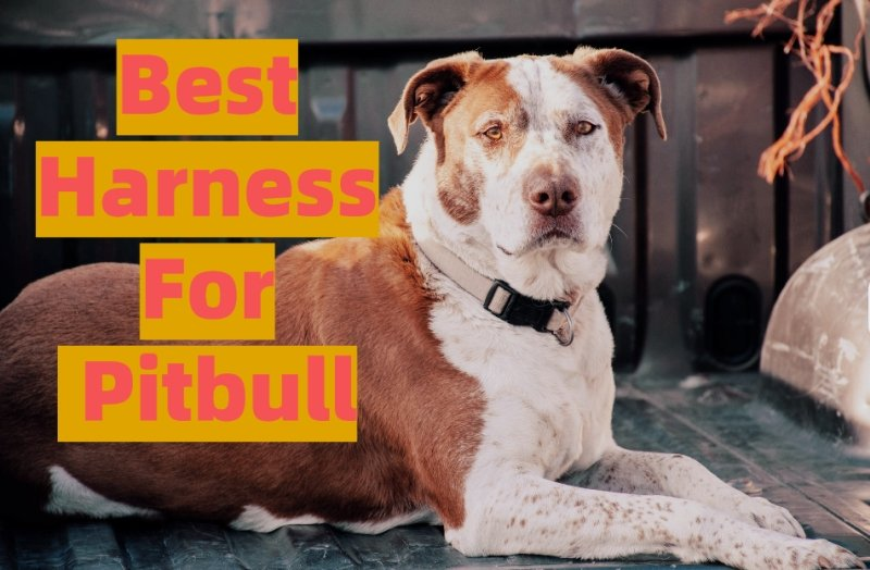 Best Harness For Pitbull Review