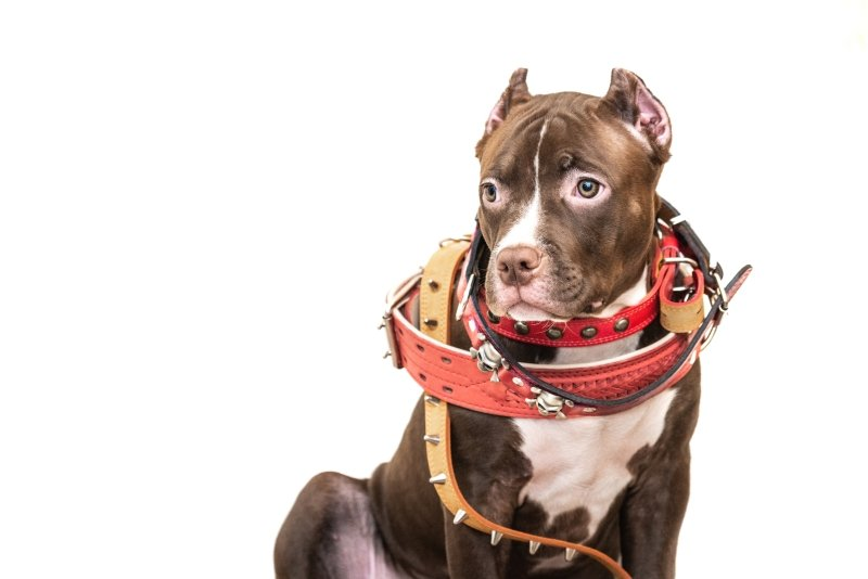 Pitbull Pup with a lot of collars