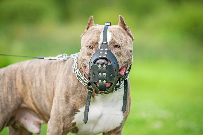 Pitbull with Dog Muzzles