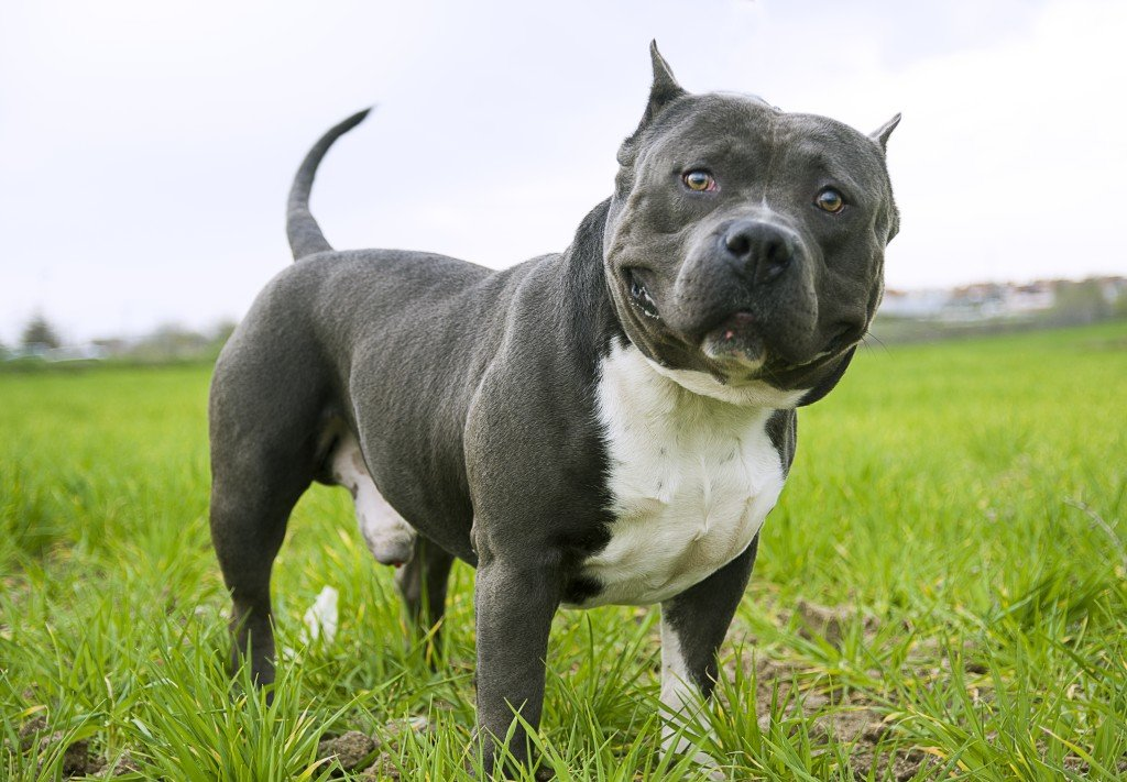 american bully dog guide