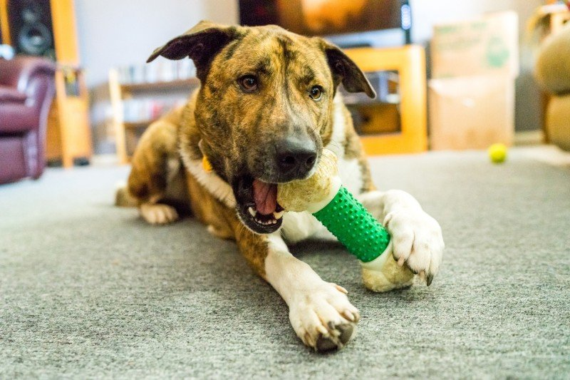 Dog playing and chewing a toy