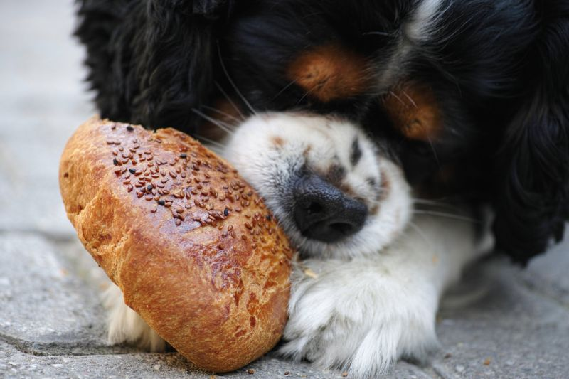 Cavalier enjoy eating his bread