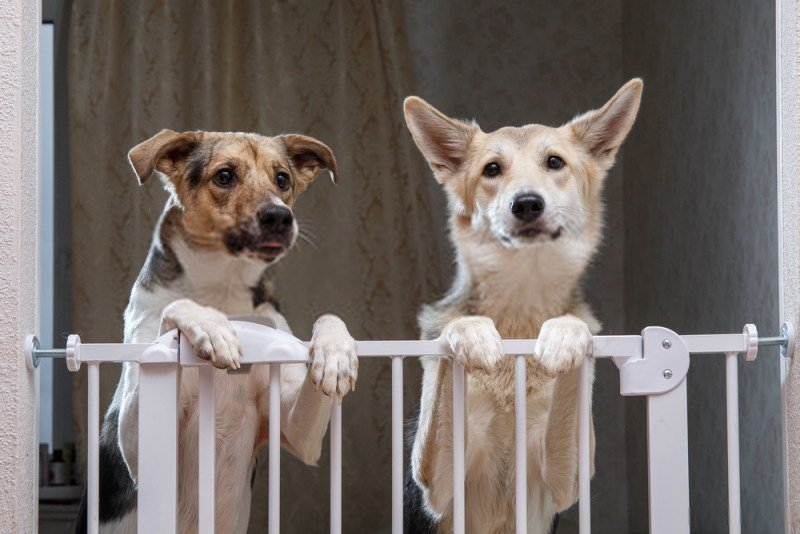 2 dogs inside a pet gate