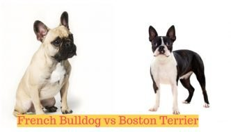 Frenchie & Boston Terrier