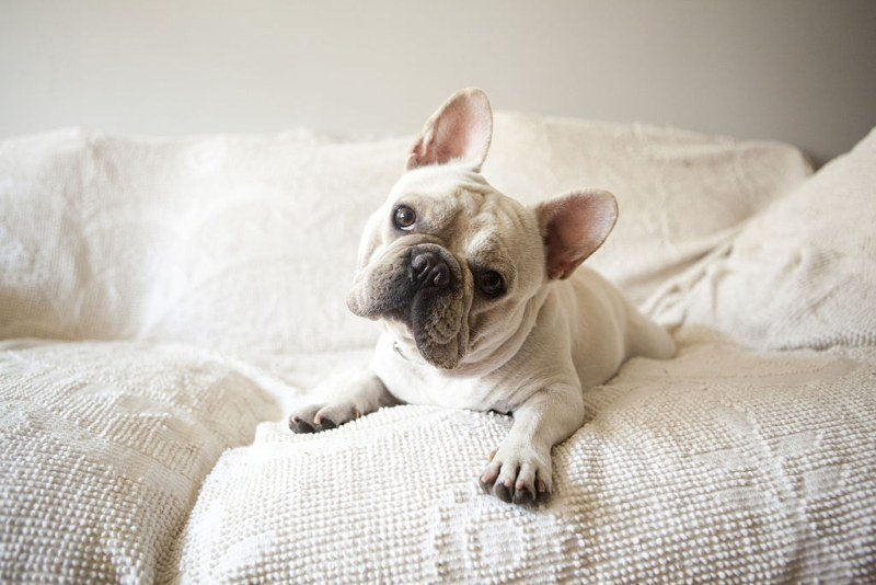 Frenchie wants to play