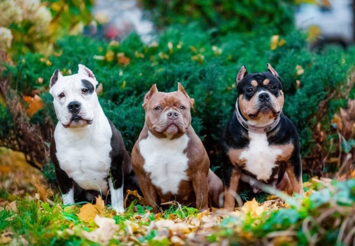 3 Cute Bully Dog Breeds