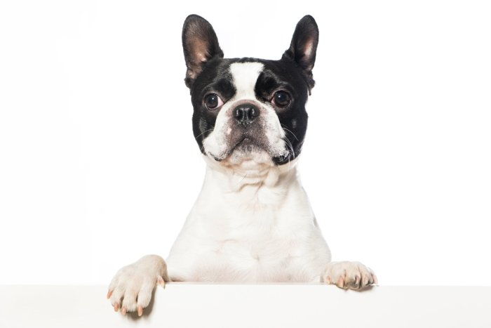 White Boston Terrier