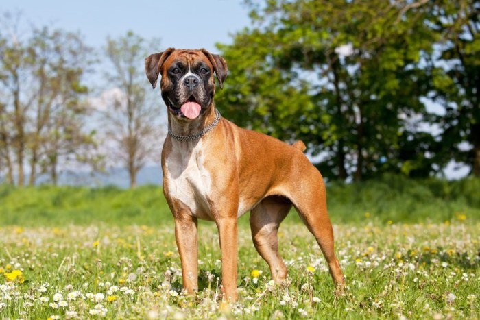 full grown bully dog breed - Boxer