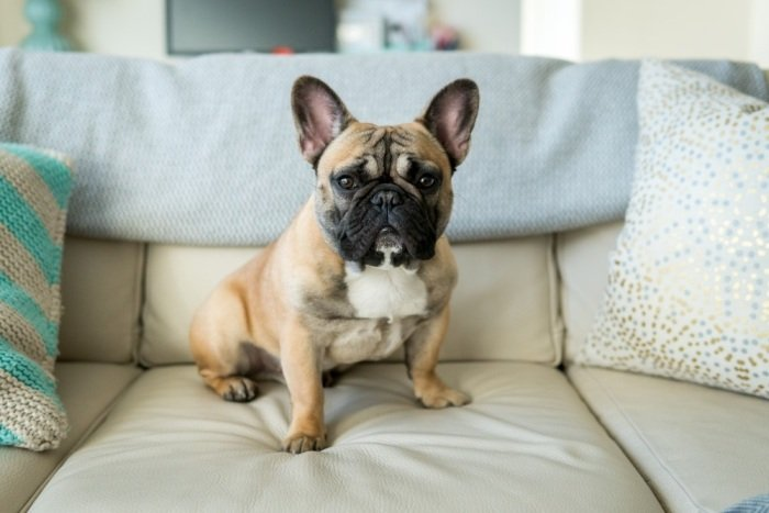 Cute Bully Breed French Bulldog
