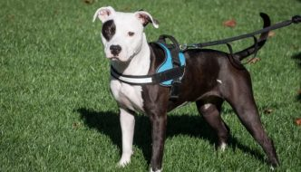 dog harness types and styles guide