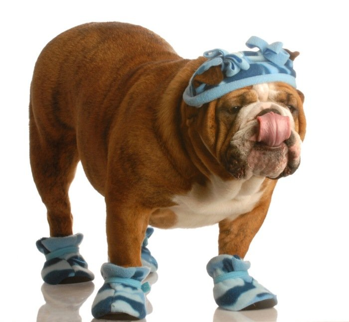 American Bulldog wearing winter shoes