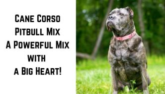 photo of a cane corso mix