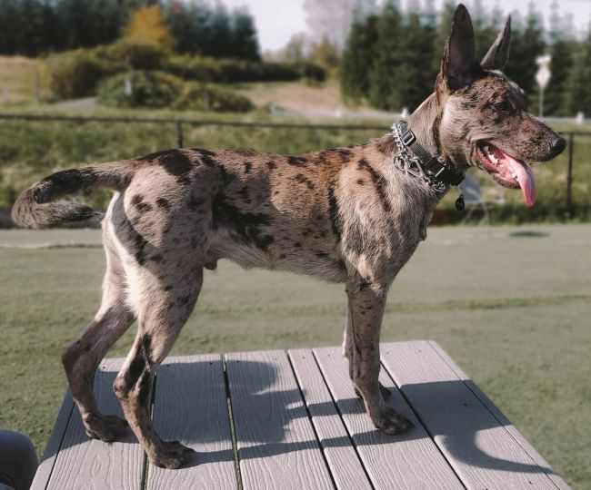 an athletic looking dog