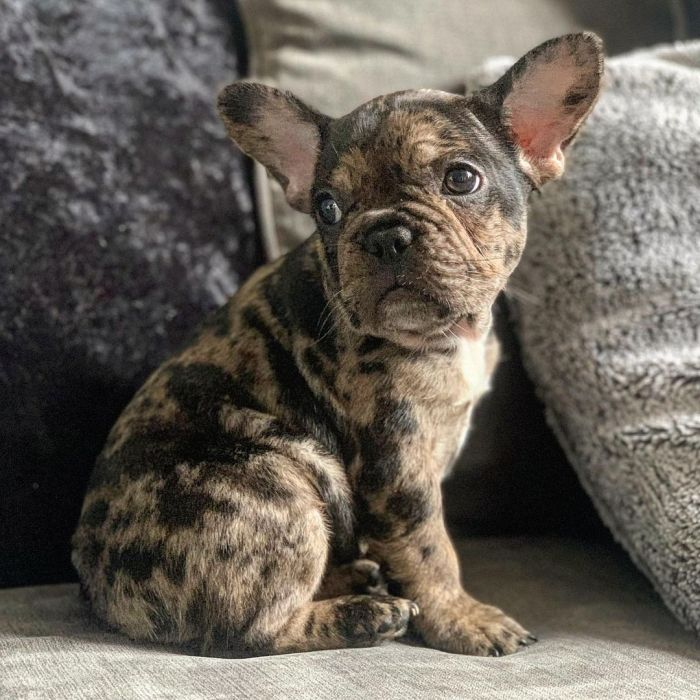 brindle color mixed breed