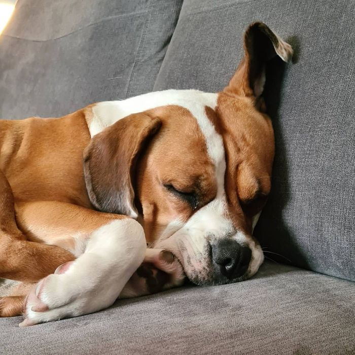 mixed dog sleeping on couch