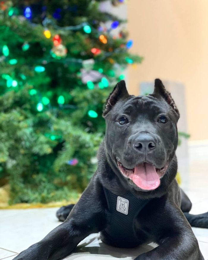 cane corso pit mix with blurred christmas tree background