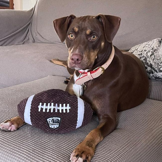 brown dog with a toy