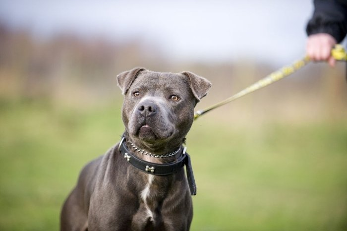 Staffordshire Bull Terrier with chain collar