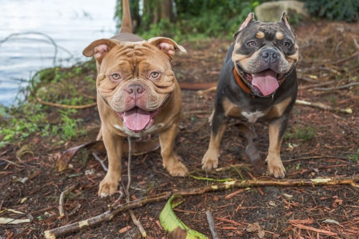 The List of Popular Bully Dog Breeds